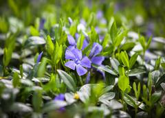 flower vinca minor - stock photo