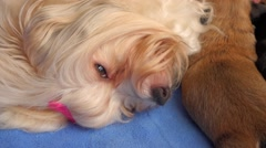 Cute mom havanese dog breastfeeds her two little puppies, pan Stock Footage