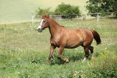 Nice chestnut horse running on meadow Stock Photos
