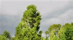 birch tree on strong wind - stock footage