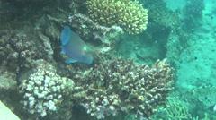Parrotfish 03 dahab Stock Footage