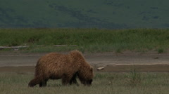 Grizzly Bear (Ursus arctos horribilis) eating grass Stock Footage