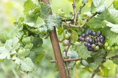 vitis vinifera - stock photo