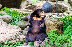Stock Photo of asiatic black bear (ursus thibetanus)