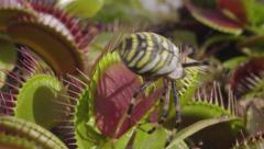SLOW MOTION: Spider falls in carnivorous plant and escapes - stock footage