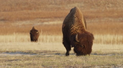 Medium shot of buffalos grazing in field / Cedar Hills, Utah, United States Stock Footage