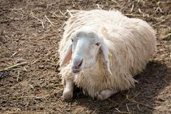 sheep at farm - stock photo