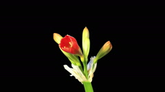 Growth of Clivia flower buds ALPHA matte, FULL HD. (Clivia miniata) (Time Lapse) Stock Footage