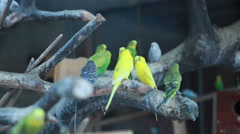Set of budgies in a cage. Stock Footage