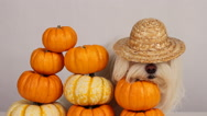 Stock Video Footage of Halloween Pumpin Dog Siesta