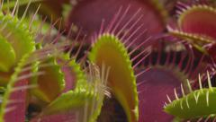 CLOSE UP: Opened jaws of snap trap carnivorous plant Stock Footage