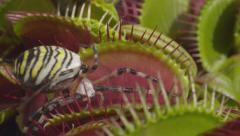 CLOSE UP: Spider gets caught in snap trap carnivorous plant - stock footage