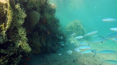 Stock Video Footage of Caesio fish coral under water