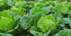 Natural field of green lettuce salad cultivation 4k video - stock footage