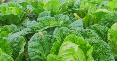 Close up dolly shot of field of green lettuce salad. Organic food cultivation Stock Footage
