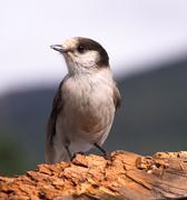 grey jay whiskey jack bird watching animal wildlife - stock photo