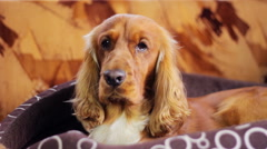 English Cocker Spaniel at home Stock Footage