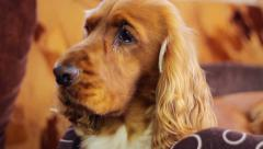 Young golden dog indoors Stock Footage