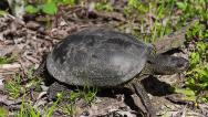 Stock Video Footage of European Pond Turtle getting out of the frame, Emys orbicularis
