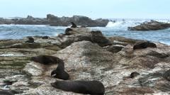 Kaikoura fur seal colony Stock Footage