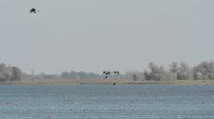 Wild geese landing at lake Stock Footage
