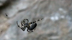 Spider caught a small fly on the web Stock Footage