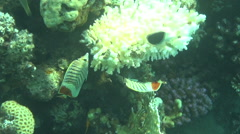Red butterflyfish dahab Stock Footage