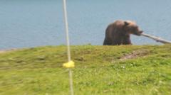 Bear gnaw  water hose Stock Footage
