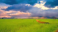 Rice farm in Thailand - stock footage