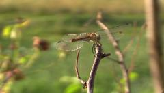 Dragonfly insect on wood branch under warm summer sun Stock Footage
