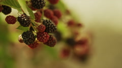 Close up panning shot of hand picking raspberries from branch / Cedar Hills, Stock Footage