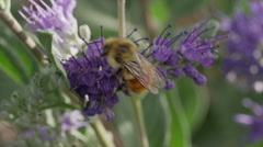 Close up high angle panning shot of bee pollinating purple flowers / Cedar Stock Footage