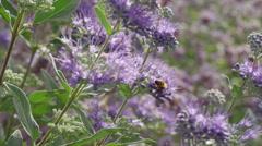 Medium high angle shot of bees pollinating purple flowers / Cedar Hills, Utah, Stock Footage