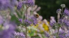 Close up of bees pollinating purple flowers / Cedar Hills, Utah, United States Stock Footage