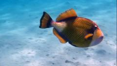 Two giant triggerfish Stock Footage