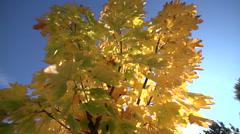 Shaking Maple tree in autumn Stock Footage
