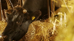 cows eating hay in the barn:  shed, cowshed, cattleshed, farm, farmer Stock Footage