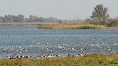 Wild geese landing on the lake Stock Footage