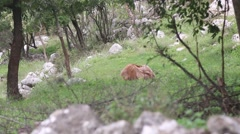 Red mountain goat lying on the grass, playing Stock Footage