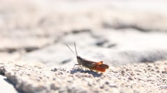 Grasshopper chirring and jumping away 2 Stock Footage