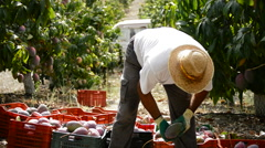 Farmer collecting mangoes fruit in plantation Stock Footage