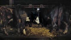 Cows in milking machine on farm: farmer, cheese, milk - stock footage
