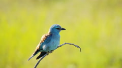 European Roller in Southern Europe nature Stock Footage