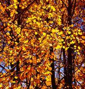 brilliant golden fall aspen colors - stock photo