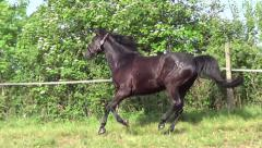 Black Stallion galloping free on meadow - stock footage