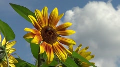 Sunflower with clouds in the Background Stock Footage