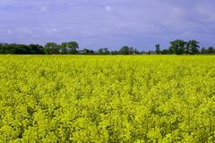 flourishing field of rape in the summer - stock photo