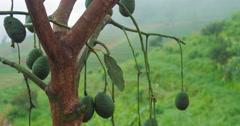 Avocado tree in farm orchard Stock Footage