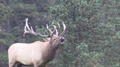 a big bull elk bugling during the fall rut - stock footage
