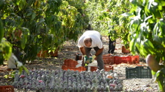 Man collecting mangoes in field Stock Footage